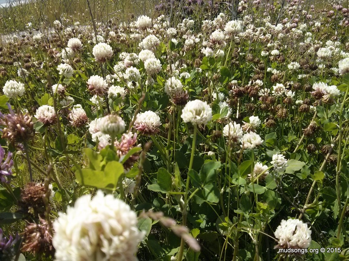 White Clover in St. John's, Newfoundland (July 23, 2015.)