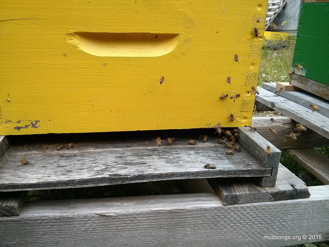 Bees entering on the on left edge of a wide open bottom entrance. (July 26, 2015.)