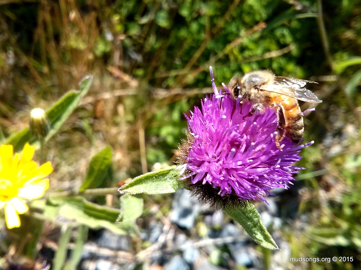 Cell phone shot of honey bee on Thistle in Flatrock, Newfoundland (August 17, 20150)