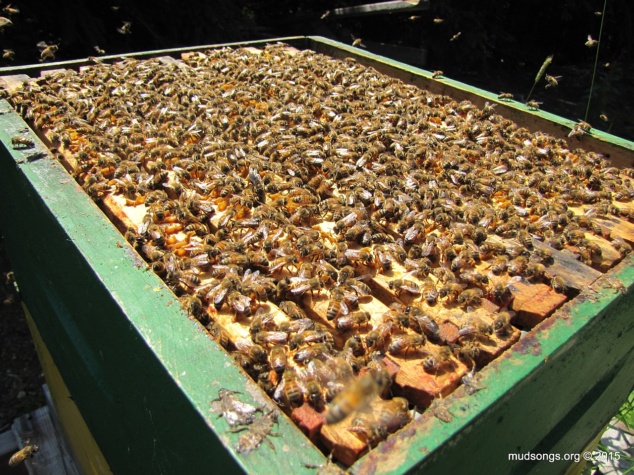 Bees crowding all 10 frames. Perfect candidate for pyramiding. (August 2, 2015.)