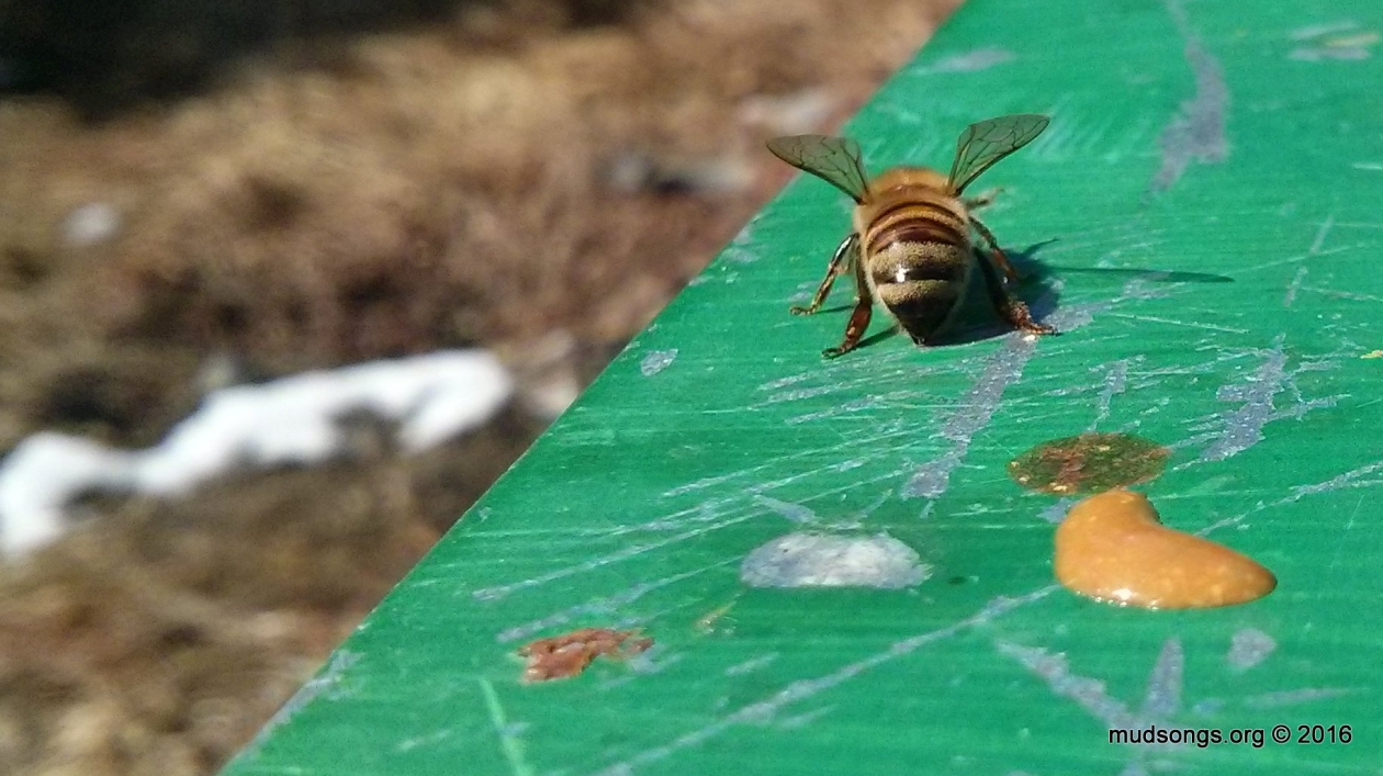 Honey bee after a cleansing flight. (March 27, 2016.)
